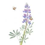 Arroyo Lupine with Red-legged Bumblebees