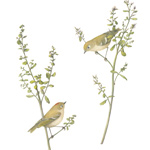 Coyote Brush with Ruby-crowned Kinglets